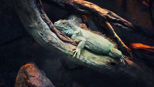 Imagem de um camaleão
